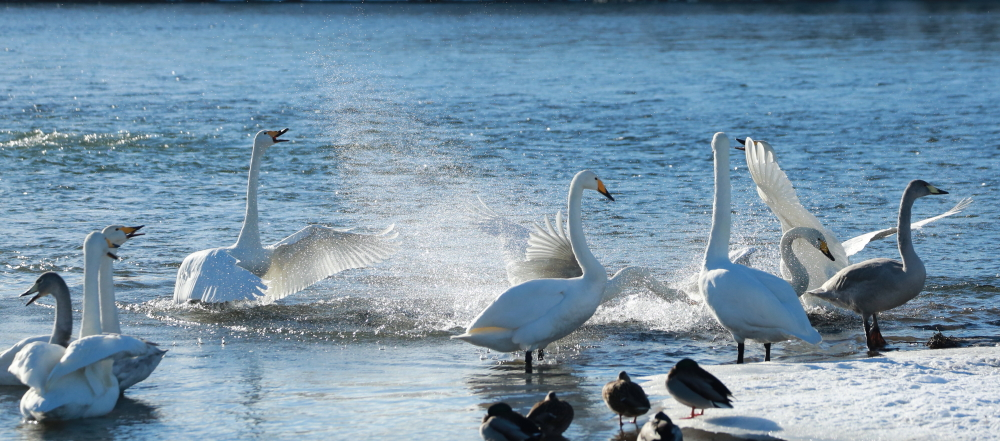 DPP 389 水飛沫を上げる白鳥0001