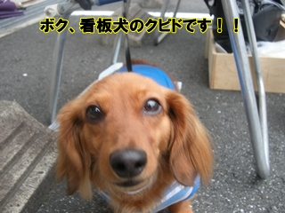 看板犬のクピド