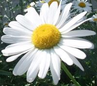 シャスターデージーの花
