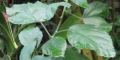 フウリンブッソウゲの葉