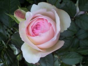 うちのバラ