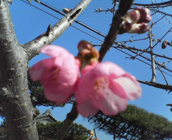 20110226河津桜