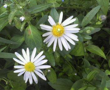 20111009野菊