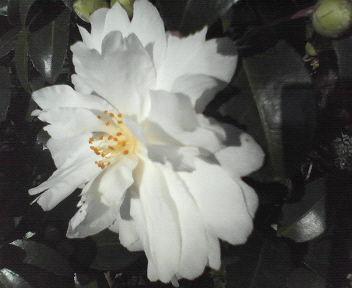 山茶花2011103