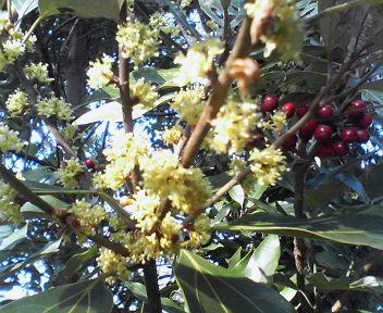20111115藪ニツケイの花と実
