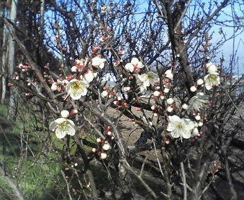 20130207梅の花