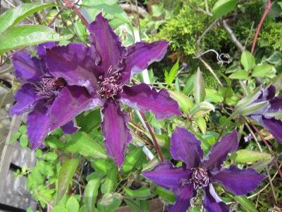 10年さのの紫2