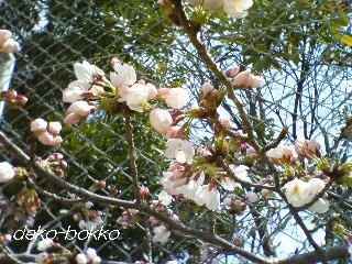 桜開花 2012.4..4
