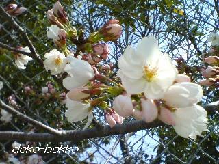 桜咲く。。。2012.4.4