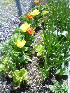 チューリップ咲き始め 2012.4.12