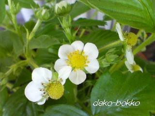 ワイルドストロベリー咲く。。。H24.4