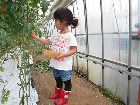 ミニトマト収穫体験