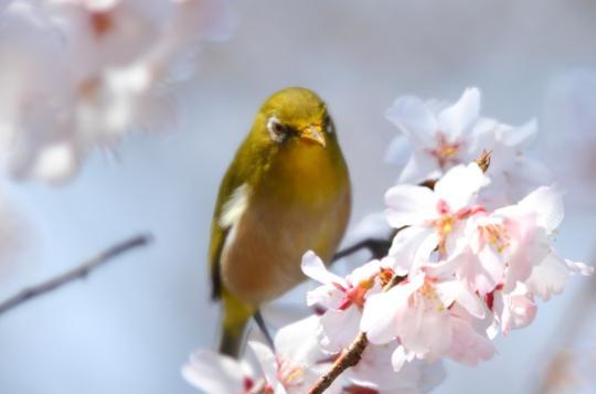 2011.03.29-桜-05