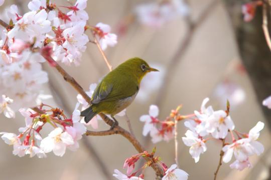 2011.03.29-桜-06