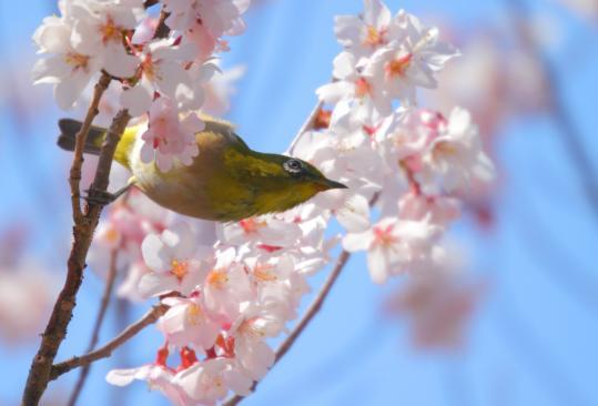 2011.03.29-桜-03