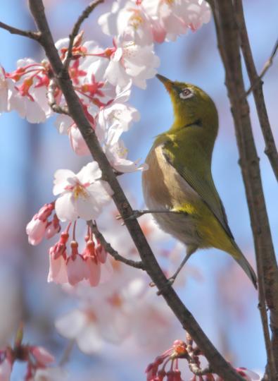 2011.03.29-桜-01