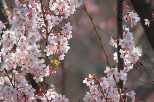 2011.03.29-桜-08
