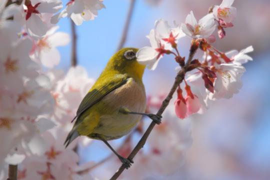 2011.03.29-桜-07