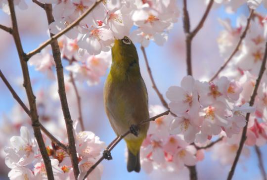 2011.03.29-桜-02