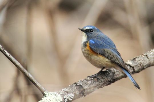野鳥2011.05.02-鷽-7 (177)