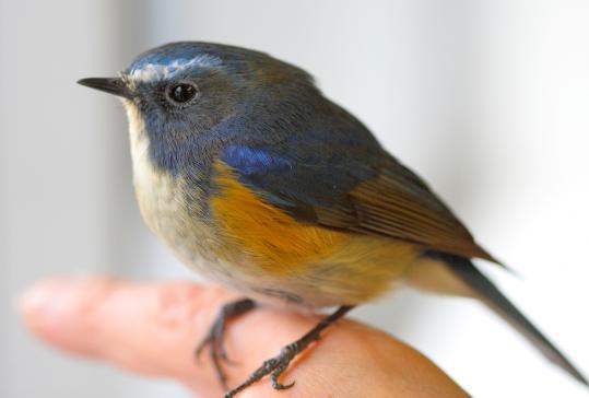 野鳥2011.05.02-鷽-7 (44)