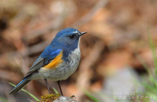 野鳥2011.05.02-鷽-7 (105)
