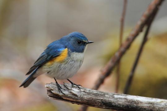 野鳥2011.05.02-鷽-7 (157)