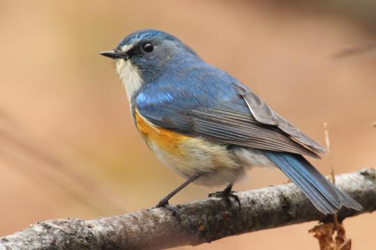 野鳥2011.05.02-鷽-7 (169)
