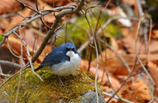 Blue-robin-コルリ-05