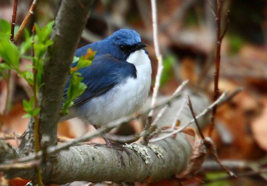 Blue-robin-コルリ-02