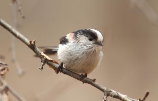 野鳥2011.05.02-鷽-7 (178)