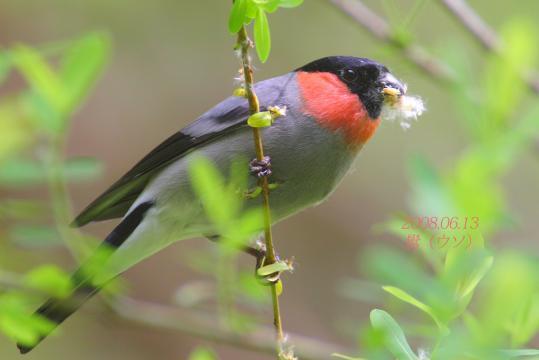 野鳥2011.05.02-鷽-7 (32)