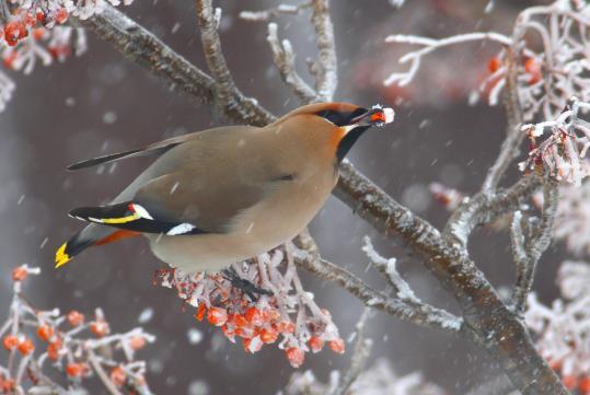 野鳥2011.05.02-鷽-7 (49)