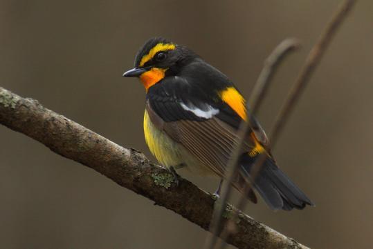 野鳥2011.05.02-鷽-7 (115)