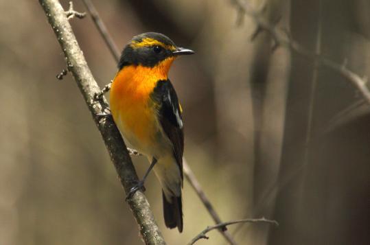 野鳥2011.05.02-鷽-7 (10)