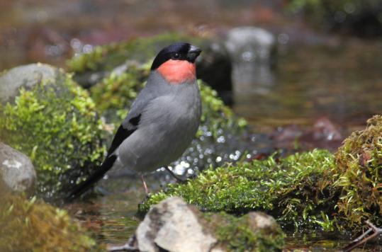 野鳥2011.05.02-鷽-7 (2)