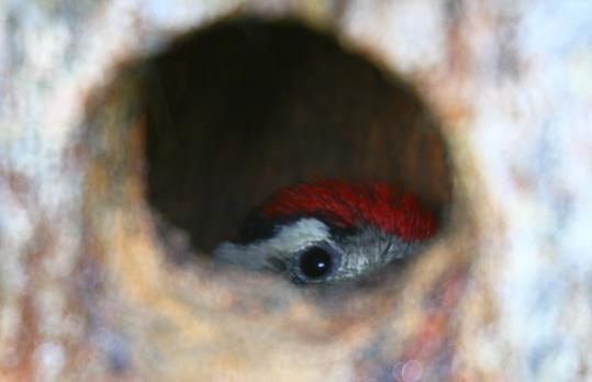 野鳥2011.05.02-鷽-7 (35)
