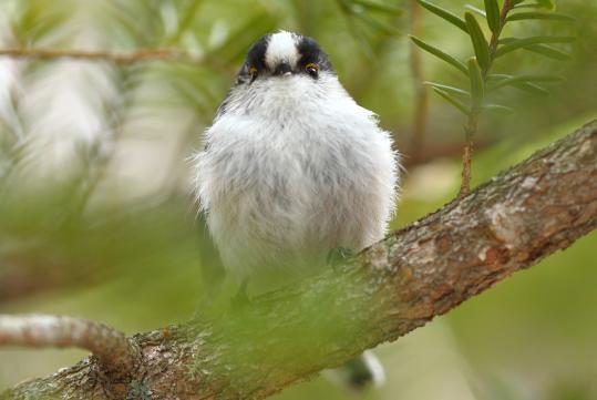 野鳥2011.05.02-鷽-7 (46)