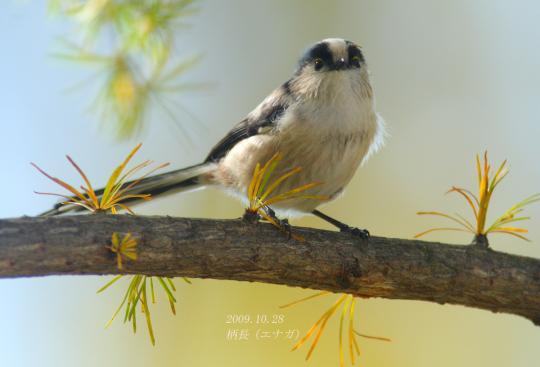 野鳥2011.05.02-鷽-7 (80)