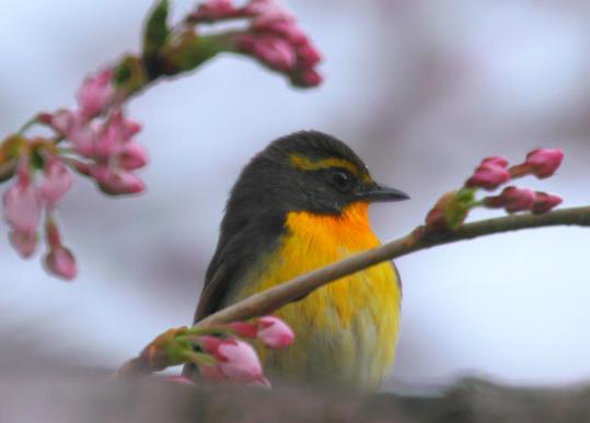 2012.04.23-キビタキ-3