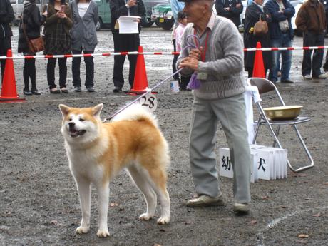 11月 秋田犬展覧会 5