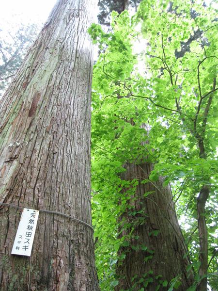 天然杉2(矢立)