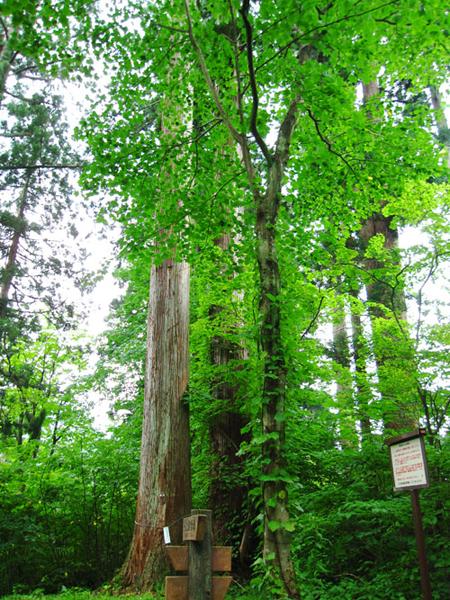 天然杉1(矢立)