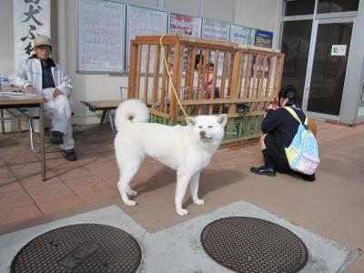 大館駅前で秋田犬とのふれあい