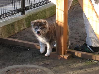 秋田犬会館の赤ちゃん