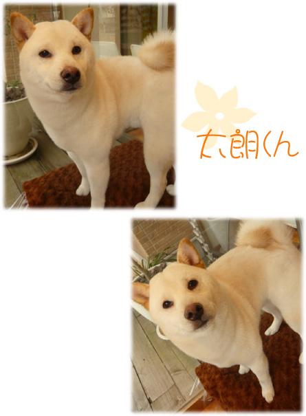 柴犬 太郎くん