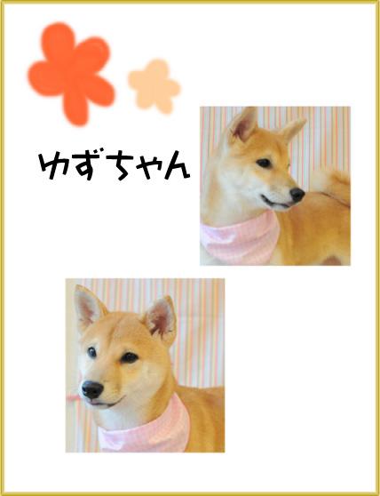 柴犬 ゆずちゃん3