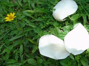 白い花弁が