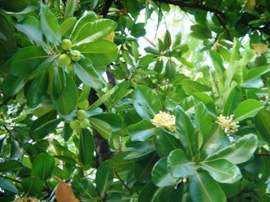 ボルネオマホガニー実と花
