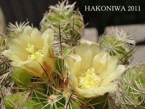 銀手毬花3
